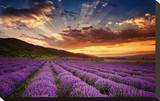 Lavender Field at Sunrise Stretched Canvas Print