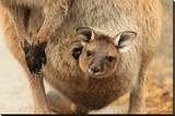 Baby Kangaroo-Joey-in Pouch Stretched Canvas Print
