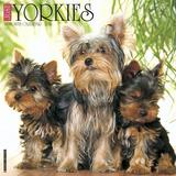 Yorkies - 2016 Calendar Calendriers