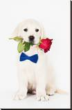 Golden Retriever Puppy & Rose Stretched Canvas Print