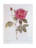 The Rose Rosa Gallica Officinalis Giclee Print by Pierre Narcisse Guérin