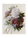 Bouquet of Red, Purple and White Peonies Giclee Print by Pierre Joseph Redouté
