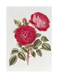 The Rose Perpetual Standard of Marengo Print by William Curtis