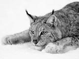 Lynx Reproduction photographique