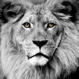 ライオン 写真プリント