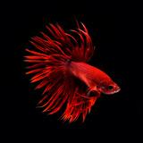 Red Betta Fish Photographic Print