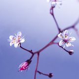 Cherry Blossom Photographic Print