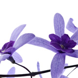 Purple Blossom Photographic Print