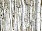 Birch Wood Fotografisk trykk av  PhotoINC