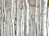 Birch Wood Photographic Print by  PhotoINC
