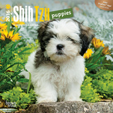 Shih Tzu Puppies - 2016 Mini Wall Calendar Calendars