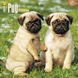 Pug Puppies - 2016 Calendar Calendars