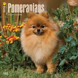 Pomeranians - 2016 Calendar Calendars