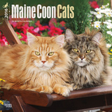 Maine Coon Cats - 2016 Calendar Calendars