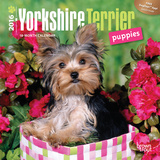 Yorkshire Terrier Puppies - 2016 Mini Wall Calendar Calendars