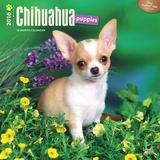 Chihuahua Puppies - 2016 Calendar Calendars