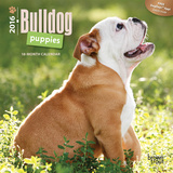 Bulldog Puppies - 2016 Mini Wall Calendar Calendars