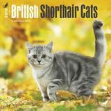 British Shorthair Cats - 2016 Calendar Calendars