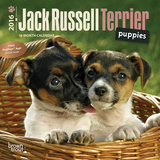 Jack Russell Terrier Puppies - 2016 Mini Wall Calendar Calendars