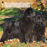 Newfoundlands - 2016 Calendar Calendars