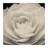 Camellia II Poster von Ella Lancaster