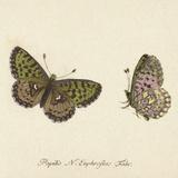 Papilio Euphrosyne Fabr Giclée-tryk af A. Poiteau