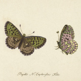 Papilio Euphrosyne Fabr Posters af A. Poiteau