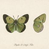 Papilio Edusa Fabr Plakater af A. Poiteau