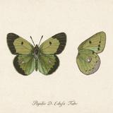 Papilio Edusa Fabr Giclée-tryk af A. Poiteau