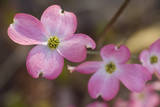 Pink Dogwood Tree in Flower 2 (Spring Botanical) Muursticker van Henri Silberman