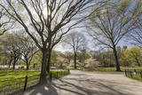 Central Park Walkway Trees and Squirrel (Springtime, Flowering Trees in an Urban Park) Autocollant par Henri Silberman