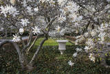 Star Magnolia Blossoms on Trees and Large Urn, Brooklyn Botanic Gardens Wall Decal by Henri Silberman