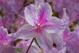 Pink Azalea, Close-Up 2 (Spring Botanical) Wall Decal by Henri Silberman