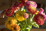 Zinnias, Close-Up (Still Life with Flowers) Muursticker van Henri Silberman