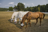 Three Horses Eating Grass (Southern Horse Farm, Chapel Hill, NC) Wall Decal by Henri Silberman