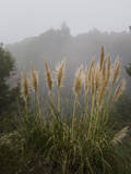 Pampas Grass in Fog Muursticker van Henri Silberman