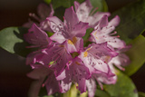 Pink Rhododendron Flower, Close-Up, (Spring Botanical) Muursticker van Henri Silberman
