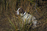 Dog in Grasses (German Shorthaired Pointer, Oakland, CA) Wall Decal by Henri Silberman