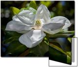 White Magnolia Blossom Close-Up Posters par Henri Silberman