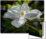 White Magnolia Blossom Close-Up Posters by Henri Silberman