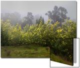 Flowering Acacia Trees in Fog Poster by Henri Silberman