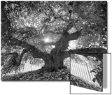 Under the Camperdown Elm Prospect Park Prints by Henri Silberman