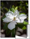White Magnolia Blossom Close-Up 3 Prints by Henri Silberman