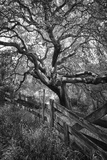 Oak Tree and Fence (Native Woodland, Oakland, CA, Black and White) Muursticker van Henri Silberman