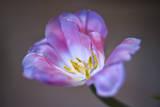 Purple Tulip Close-Up Muursticker van Henri Silberman