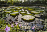 Water Lily Pond, Kew Gardens 2 (Green House Lily Pond, England) Autocollant mural par Henri Silberman