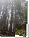 Redwood Trees in Fog (Northern California Landscape) Prints by Henri Silberman