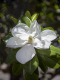 White Magnolia Blossom Close-Up 3 Wall Decal by Henri Silberman