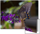 Butterfly on Butterfly Bush (Purple Flower with Insect) Prints by Henri Silberman