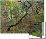 Moss on Tree, Northern California Woods (Native Woodland) Posters by Henri Silberman